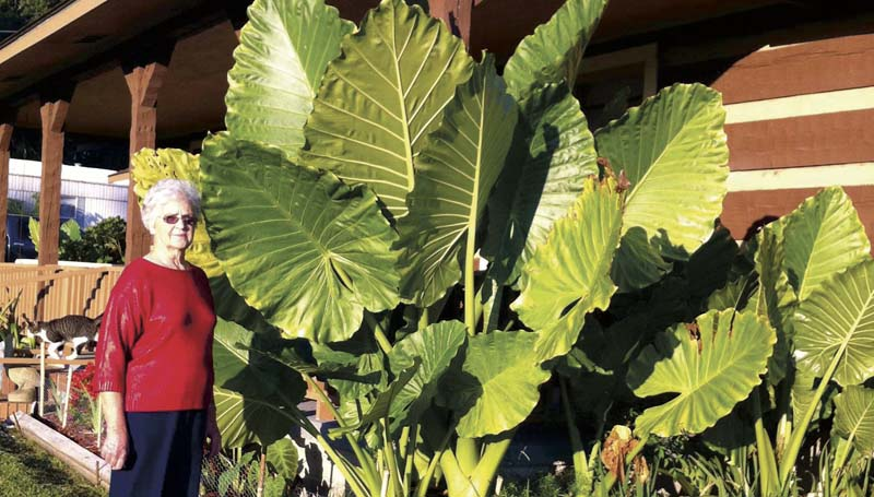 PHOTO SUBMITTED / The giant elephant ear plants in her yard tower over Audrey Thornton at her home on Jackson Liberty Drive SW earlier this week. Thornton expected the temperature drop into the 30s tonight might signal the plants' annual season decline as the first fall frost appears to be drawing near.