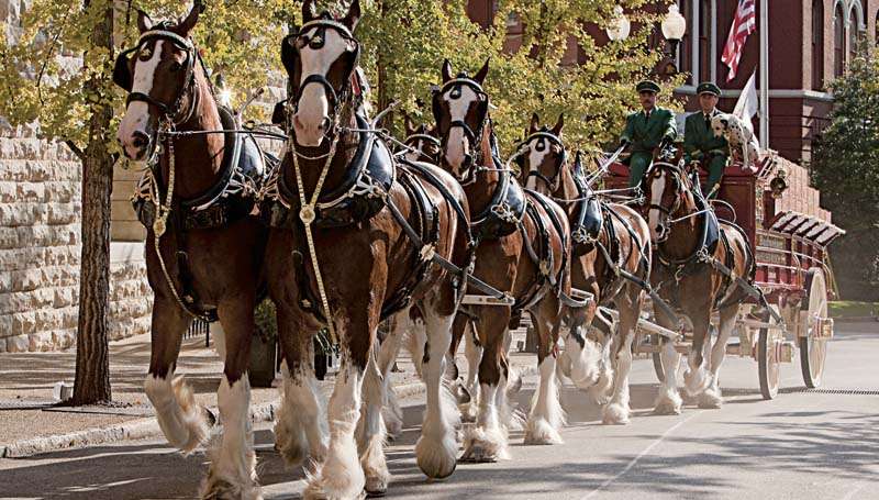 PHOTO SUBMITTED / ANHEUSER-BUSCH INC. / The Anheuser-Busch Budweiser Clydesdales are coming to town, thanks to a local man's prize-winning contest entry.