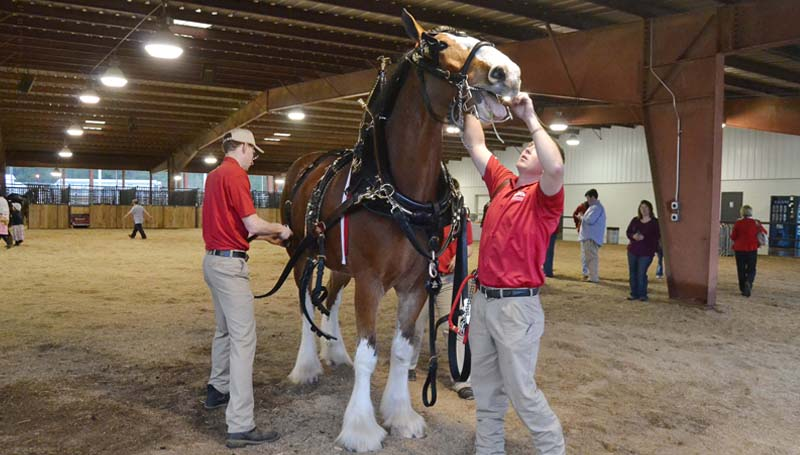 Prior to bringing it to the arena, a horse's bridle and bit are put in place and the collar and harness are cinched in the stall barn..