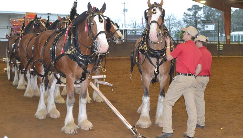 DAILY LEADER / RACHEL EIDE / Eric Soto prepares to hitch the sixth Clydesdale to the wagon Sunday afternoon at the Lincoln Civic Center arena. When complete, the hitch will include eight horses.