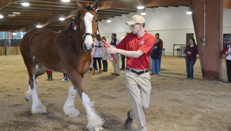 A Clydesdale is brought to the bridling area.